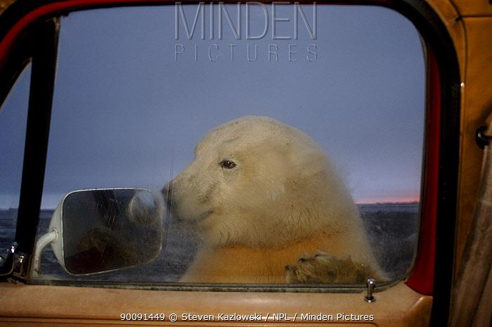 polar bear, Ursus maritimus, curiously checks out truck, 1002 coastal plain of the Arctic National Wildlife Refuge, Alaska  -  Steven Kazlowski/ npl