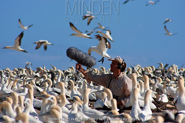 BBC Producer, Hugh Pearson, recording sound of Cape gannets (Morus capensis) Bird Island, off the coast of the Eastern Cape, South Africa, January  -  Hugh Pearson/ npl