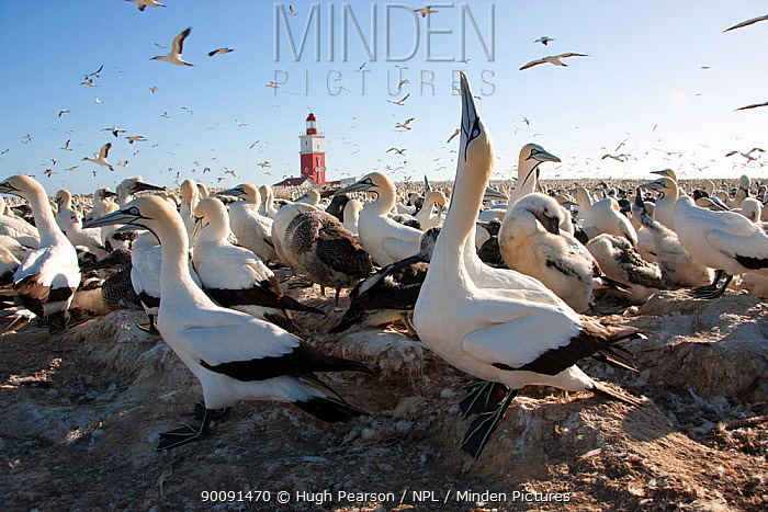 Cape gannet (Morus capensis) sky pointing in colony, Bird Island, off the coast of the Eastern Cape, South Africa, January  -  Hugh Pearson/ npl