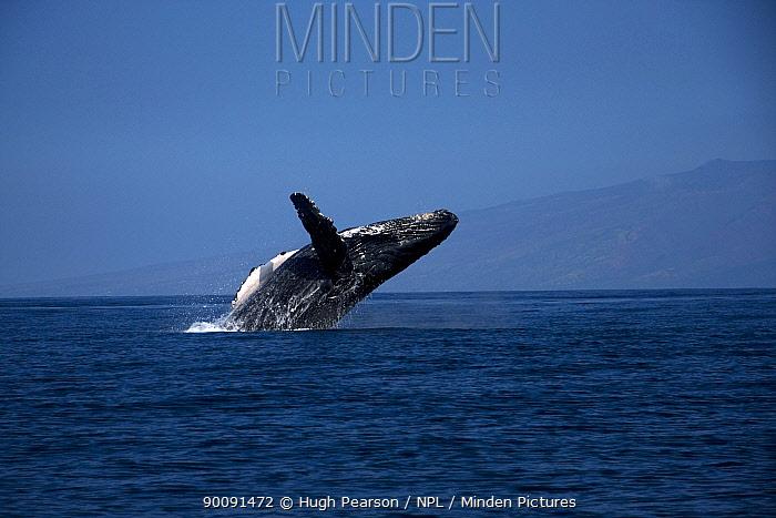 Humpback whale (Megaptera novaeangliae) breaching, Hawaii, Pacific Ocean, taken under NMFS scientific research permit #393-1772  -  Hugh Pearson/ npl