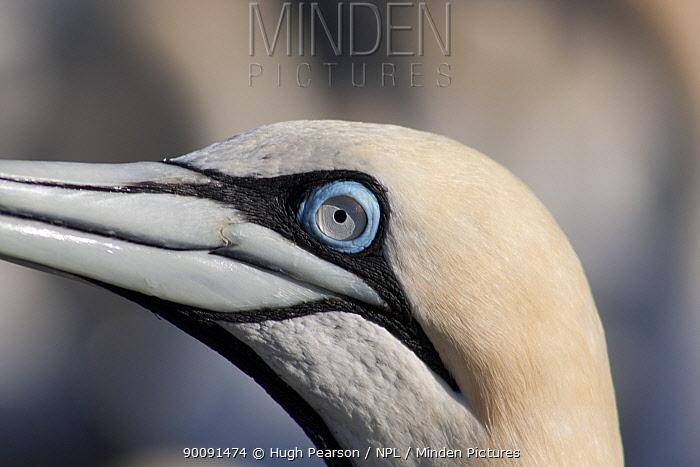 Cape gannet (Morus capensis) head profile, Bird Island, off the coast of the Eastern Cape, South Africa, January  -  Hugh Pearson/ npl