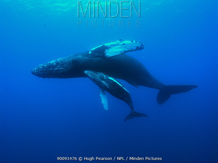 Humpback whale (Megaptera novaeangliae) mother and calf swimming, Hawaii, Pacific Ocean, taken under NMFS scientific research permit #393-1772  -  Hugh Pearson/ npl