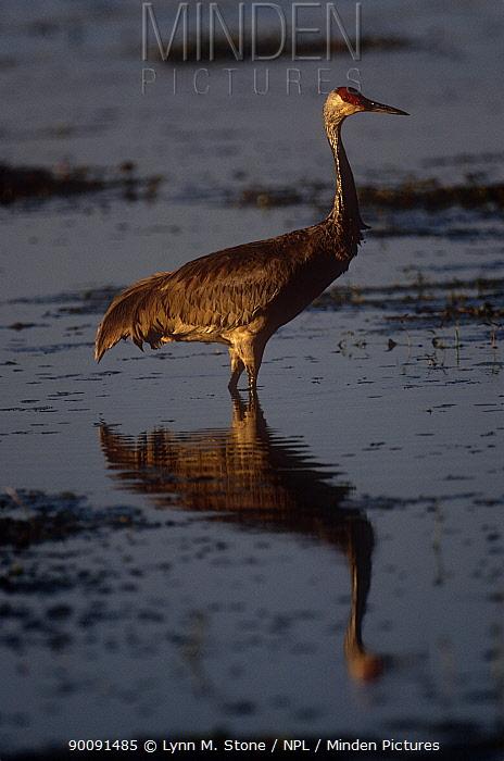 Sandhill crane (Grus canadensis) standing in water, USA  -  Lynn M. Stone/ npl