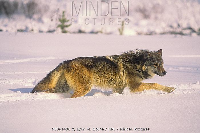 Grey wolf (Canis lupus) walking through deep snow, captive, USA  -  Lynn M. Stone/ npl