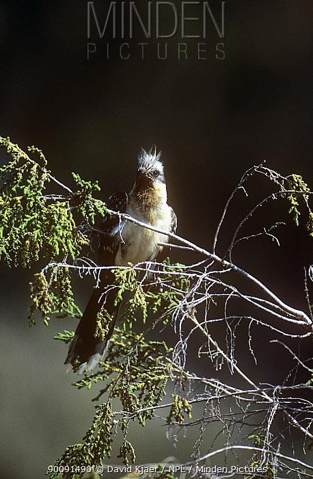 Great spotted cuckoo (Clamator glandarius) perched, Spain  -  David Kjaer/ npl