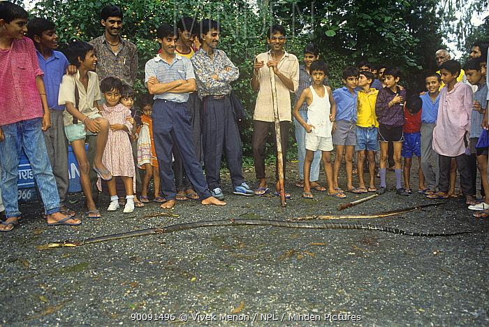 King cobra (Ophiophagus hannah) killed by villagers, Rajaji NP, Uttar Pradesh, India  -  Vivek Menon/ npl