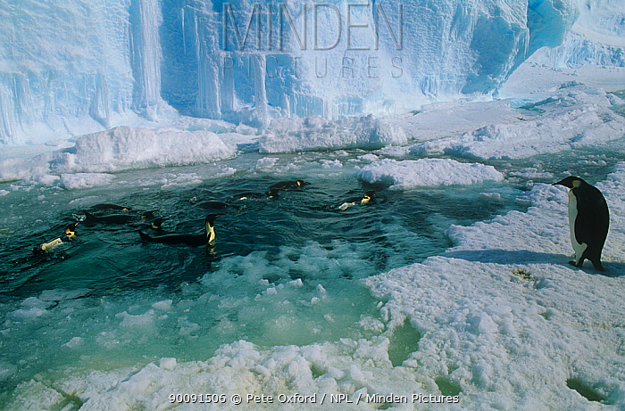 Emperor penguins (Apenodytes forsteri) in sea among ice, Auster rookery, Australian Territory, Antarctica  -  Pete Oxford/ npl