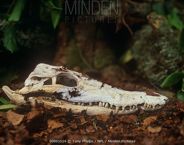 Skull of Saltwater crocodile (Crocodylus porosus)  -  Tony Phelps/ npl