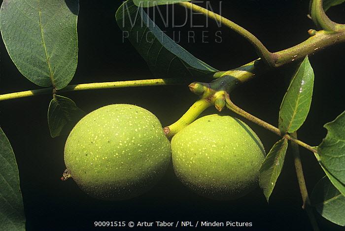 Walnut (Juglans regia) fruit on tree, Poland  -  Artur Tabor/ npl