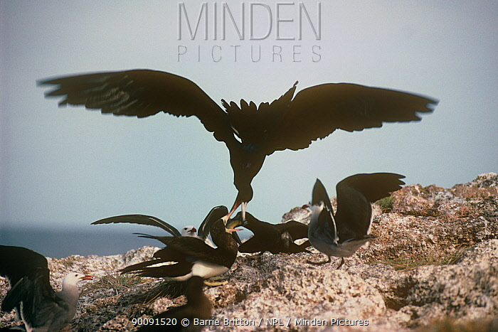 Silhouette of Magnificent frigate bird (Fregata magnificens) stealing food from Brown booby, Mexico  -  Barrie Britton/ npl