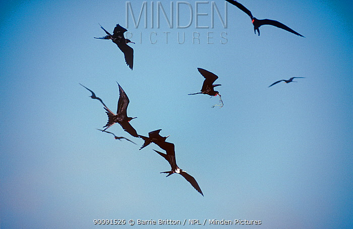 Silhouettes of Magnificant frigate bird (Fregata magnificens) males in aerial fight for nest material, Mexico  -  Barrie Britton/ npl