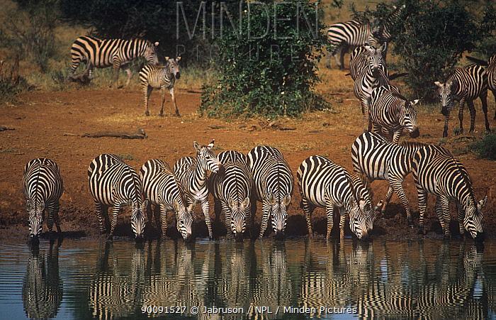 Common zebra (Equus burchelli) herd drinking at waterhole, Tsavo NP, Kenya  -  Jabruson/ npl