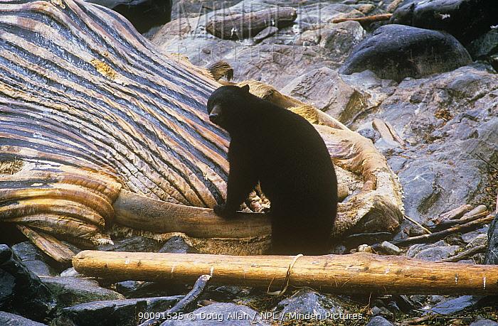 Black bear (Ursus americanus) scavenging on Humpback whale carcass, Ketchikan, Alaska, USA  -  Doug Allan/ npl