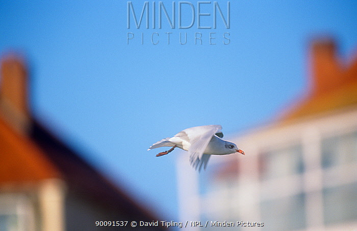 Mediterranean gull (Larus melanocephalus) in flight past houses, winter, Kent, England, UK  -  David Tipling/ npl