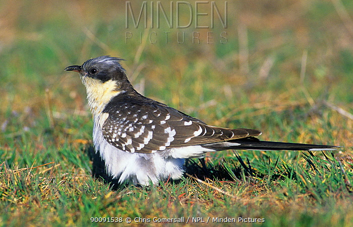 Great spotted cuckoo (Clamator glandarius) perched on ground, spring, Spain, Europe  -  Chris Gomersall/ npl
