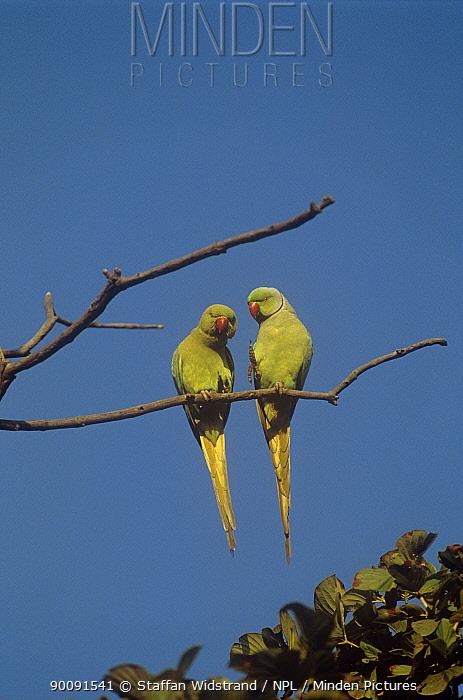 Alexandrine parrot (Psittacula eupatria) pair perched, Keoladeo Ghana, Bharatpur NP, Rajasthan, India  -  Staffan Widstrand/ npl