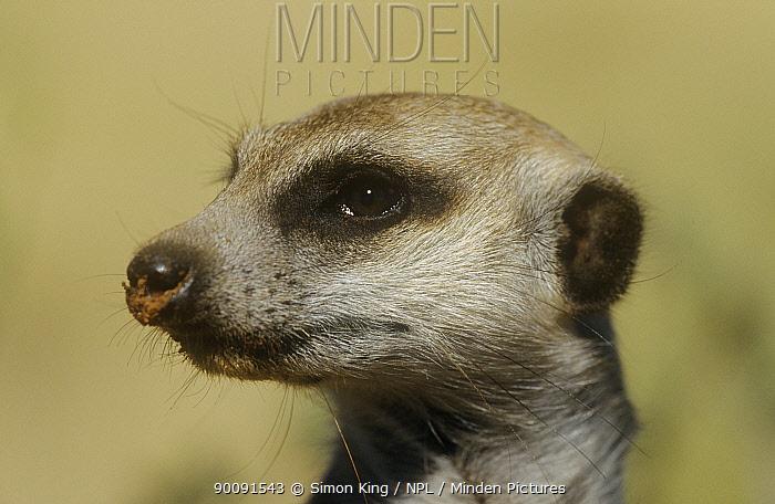 Meerkat, Suricate (Suricata suricatta) head portrait, Tswalu Kalahari Reserve, South Africa  -  Simon King/ npl