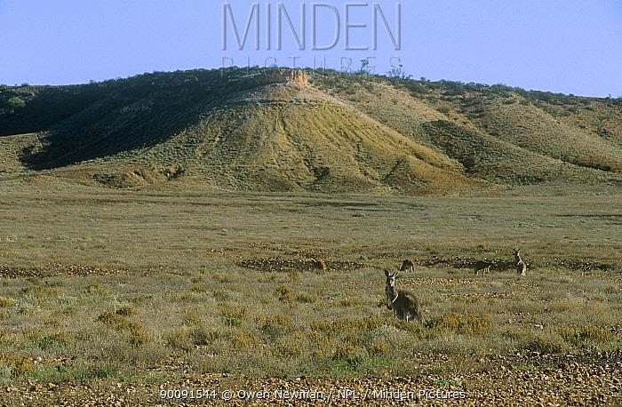 Red kangaroo (Macropus rufus) herd feeding in open grassland, Sturt NP, New South Wales, Australia  -  Owen Newman/ npl