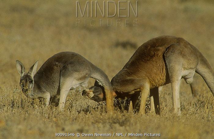 Red kangaroo (Macropus rufus) male testing to see if female is in oestrus, Sturt NP, New South Wales, Australia  -  Owen Newman/ npl
