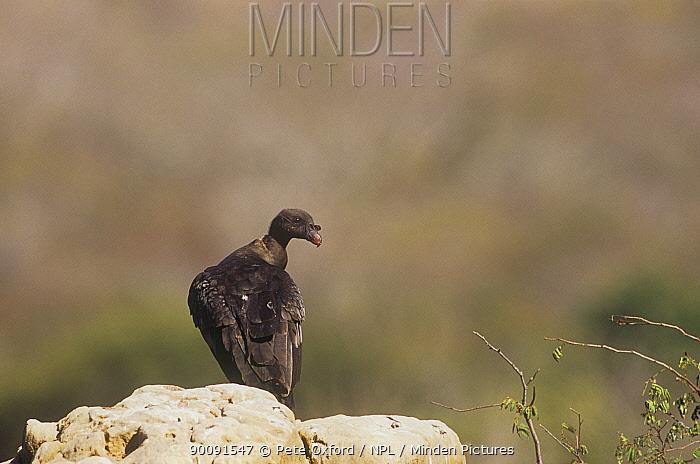 King vulture (Sarcoramphus papa) juvenile perched on rock, Caatinga habitat, Brazil  -  Pete Oxford/ npl