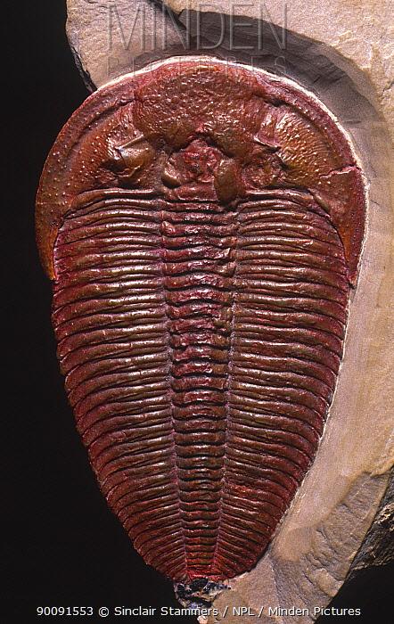 Mid Cambrian Trilobite (Altiocculus harrisi) Upper Wheeler Shale, Harris quarry, Wheeler Ampitheater, House Range, Utah, USA  -  Sinclair Stammers/ npl