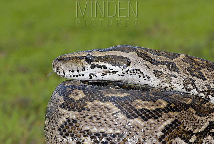 African rock python (Python sebae natalensis) portrait, Alicedale, Eastern Cape, South Africa  -  Tony Phelps/ npl