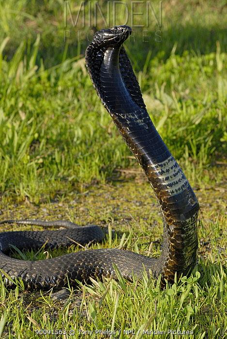 Rinkhals, Ringhal's cobra (Hemachatus haemachatus) defense display, Gansbaai, Western Cape, South Africa  -  Tony Phelps/ npl