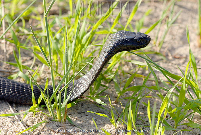 Black spitting cobra (Naja nigricincta woodi) Clanwilliam, Western Cape, South Africa  -  Tony Phelps/ npl