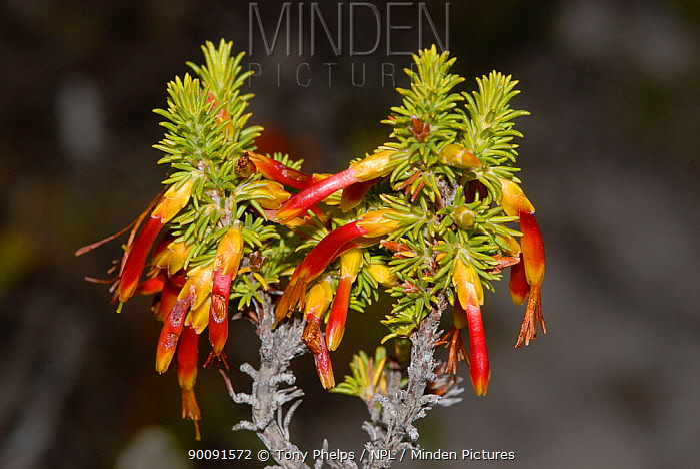 Crimson heath (Erica coccinea) in flower, deHoop Nature Reserve, Western Cape, South Africa  -  Tony Phelps/ npl