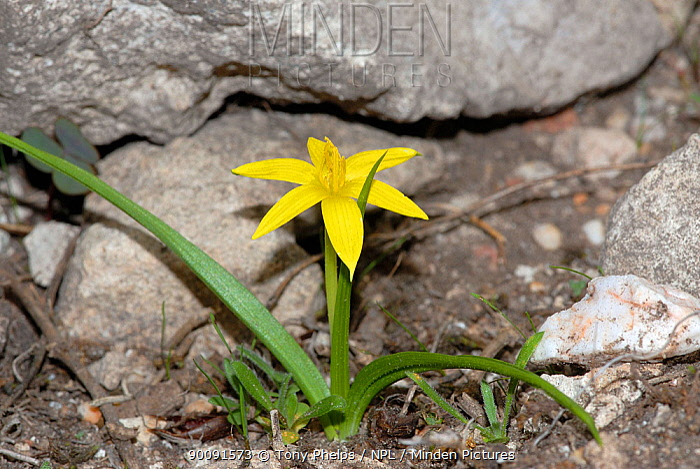 Autumn star (Empodium plicatum) in flower, DeHoop Nature reserve, Western Cape, South Africa  -  Tony Phelps/ npl