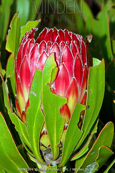 Sugarbush (Protea obtusifolia) in flower, DeHoop Nature Reserve, Western Cape, South Africa  -  Tony Phelps/ npl