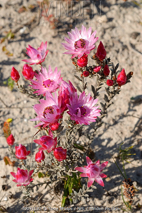 Pink everlasting (Syncarpha canascens) in flower, deHoop Nature reserve, Western Cape, South Africa  -  Tony Phelps/ npl