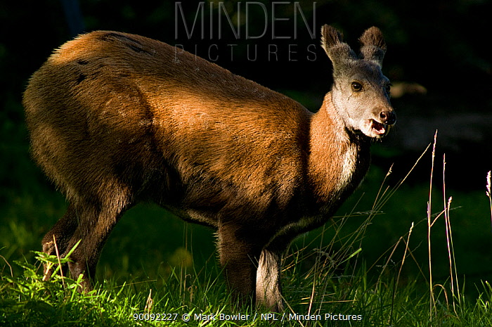 Siberian musk deer (Moschus moschiferus) male with tusks, captive, Midlothian deer enclosure, UK, Vulnerable species  -  Mark Bowler/ npl