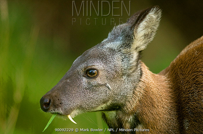 Siberian musk deer (Moschus moschiferus) male with tusks, feeding, captive, Midlothian deer enclosure, UK, vulnerable species  -  Mark Bowler/ npl