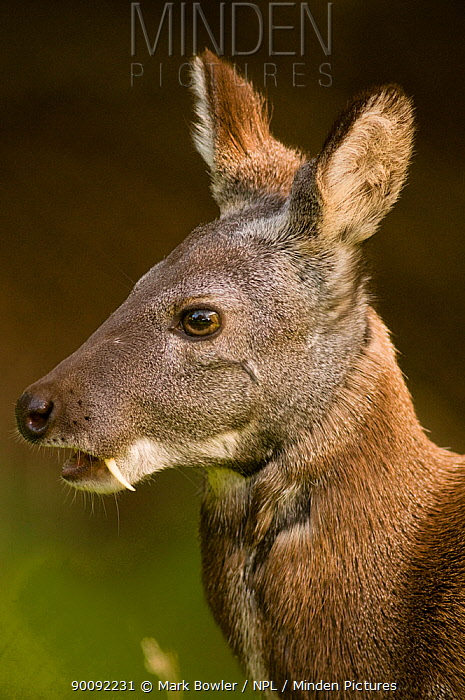 Siberian musk deer (Moschus moschiferus) male with tusks, portrait, captive, Midlothian deer enclosure, UK, vulnerable species  -  Mark Bowler/ npl