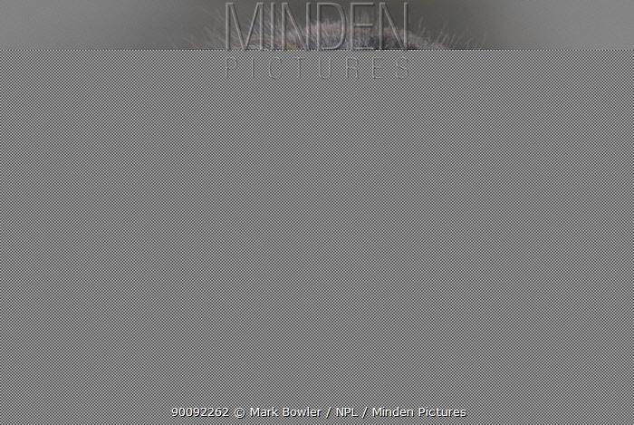 Pallas' cat (Octolobus manul) captive  -  Mark Bowler/ npl