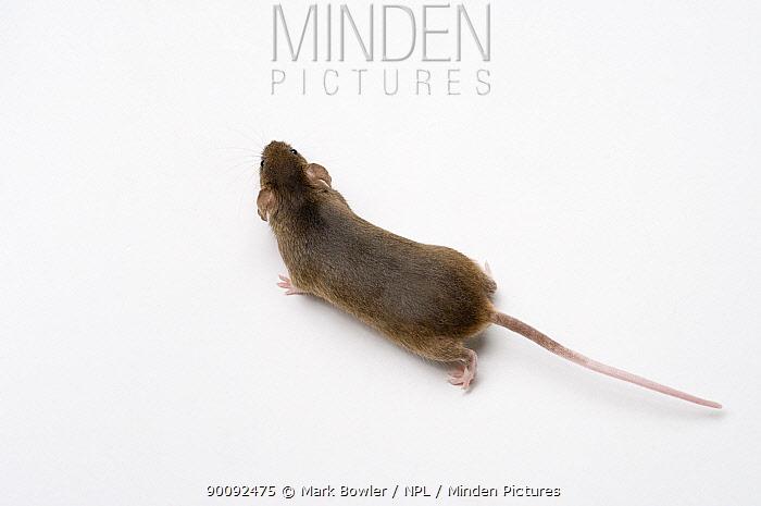 House Mouse (Mus musculus) walking across floor  -  Mark Bowler/ npl