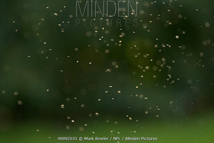 Midge (Chironomus sp) swarm in flight, UK  -  Mark Bowler/ npl