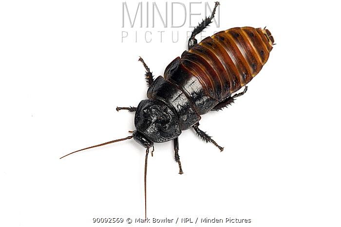 Giant Madagascar hissing cockroach (Gromphadorina portentosa)  -  Mark Bowler/ npl