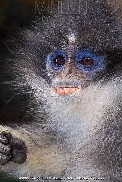Young female Grizzled Leaf-monkey (Presbytis comata) captive, from West and Central Java, Endangered Species  -  Rod Williams/ npl