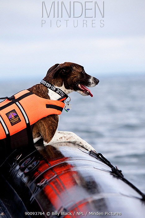 Millie the dog wearing lifejacket in inflatable boat, watching the finish of the 2009 OSTAR  -  Billy Black/ npl