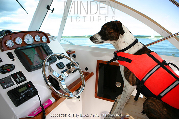 Millie the dog wearing lifejacket in the cabin of a motorboat  -  Billy Black/ npl