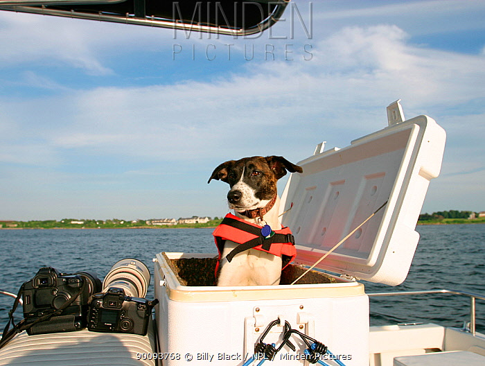 Millie the dog wearing lifejacket in compartment on yacht, beside cameras  -  Billy Black/ npl
