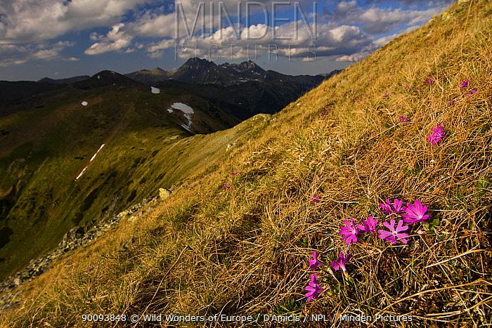 Least primroses (Primula minima) flowering on slope, Liptovske kopi, Western Tatras, Carpathian Mountains, Slovakia, June 2009  -  WWE/ D'amicis/ npl