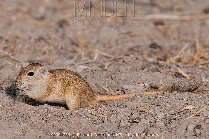 Indian desert gerbil (Meriones hurrianae) feeding, Rajasthan, India  -  Bernard Castelein/ npl