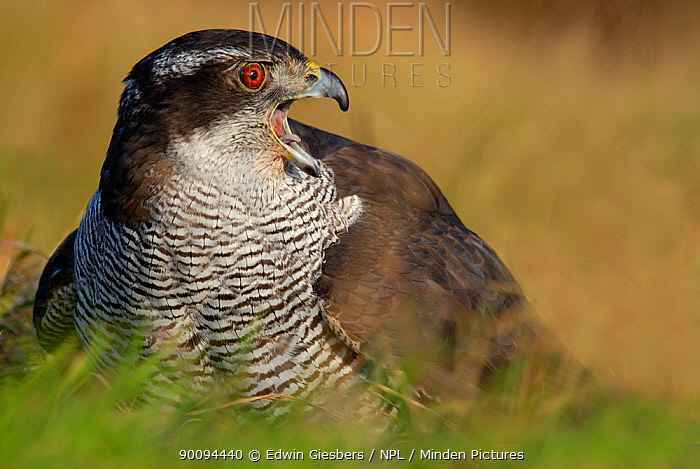 Northern goshawk (Accipiter gentilis) on ground calling, captive  -  Edwin Giesbers/ npl