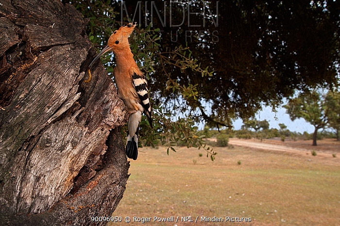 Male Hoopoe (Upupa epops) at nest hole with food for the incubating female, Castelo Branco, Portugal  -  Roger Powell/ npl