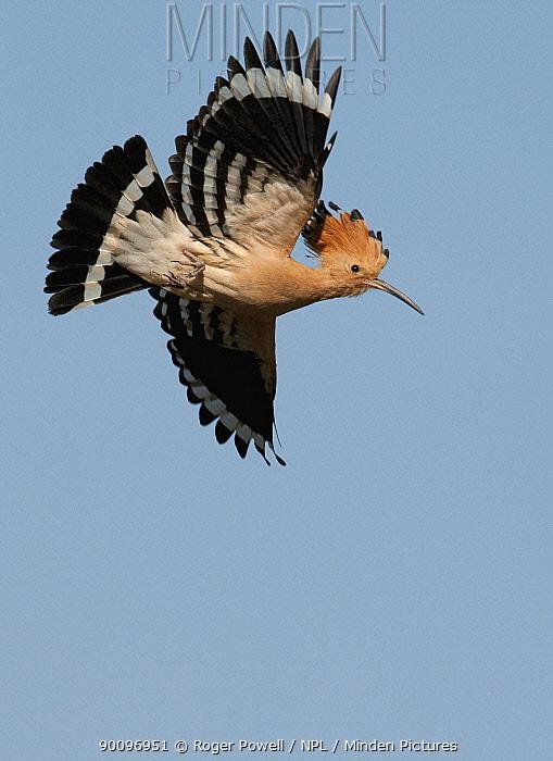 Hoopoe (Upupa epops) in flight, Castelo Branco, Portugal  -  Roger Powell/ npl