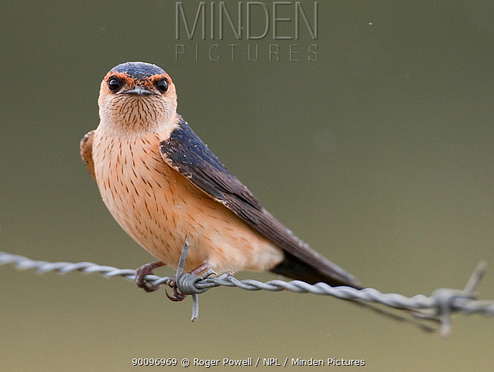 Red rumped swallow (Cecropis daurica) perched on barbed wire during rain on migration, Evora, Portugal  -  Roger Powell/ npl