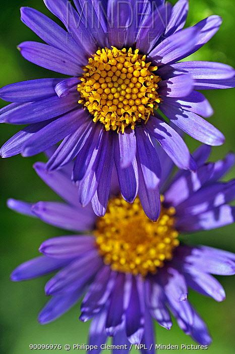 Alpine aster (Aster alpinus) flowers, Alps, Switzerland  -  Philippe Clement/ npl